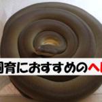 【ペットにおすすめの飼いやすいヘビ】~初心者にも飼育しやすい蛇をボールパイソン・コーンスネーク以外でまとめました~
