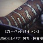 """【カーペットパイソンの飼い方  """"まとめ""""  】飼いやすいニシキヘビ?モレリア属の飼育・モルフとその魅力とは?"""