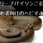 【オリーブパイソンこそ初心者向けのヘビである】~オリーブパイソン普及委員会~