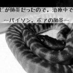 ヘビが肺炎だったので治療中です.~パイソン・ボアの肺炎~