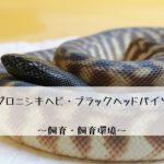 【ズグロニシキヘビ・ブラックヘッドパイソン】高級パイソンの飼い方とその生態とは?