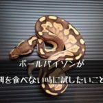 【ボールパイソンがエサを食べない時(拒食時)に試したいこと】~ヘビに餌を食べさせる方法~