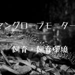 おすすめのオオトカゲ【マングローブモニターの飼い方と飼育環境について】