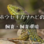 【ホウセキカナヘビ】大型で美しいカナヘビの正しい飼い方について