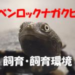 【ジーベンロックナガクビガメ】飼いやすいと言われる水棲カメの飼育方法は?