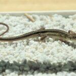カナヘビが死んだ原因は日光浴?日光浴の効果と注意点について解説