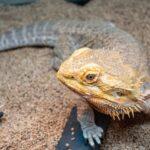 フトアゴヒゲトカゲとは?突然死させない飼育方法を詳しく解説