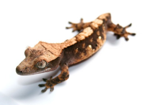 Tailless_Crested_Gecko