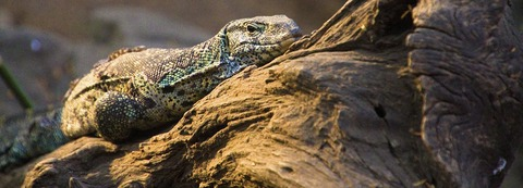monitor-lizard_banner