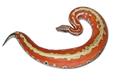 blood_python