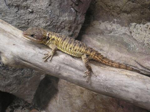 1280px-Tropical_Girdled_Lizard_P9240103